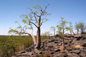 moringa strom